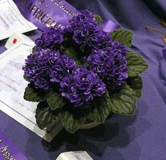 Miniature African Violets | Ness' Crinkle Blue - Best Miniature/Semiminiature African Violet