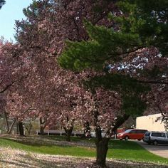 Cherry blossom tree :)