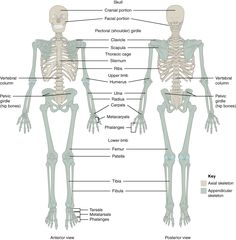 Bones Of The Body Anatomy . Bones Of The Body Anatomy 71 Divisions Of The Skeletal System Anatomy And Physiology Human Anatomy Chart, Human Anatomy Drawing, Human Body Anatomy, Human Anatomy And Physiology, Anatomy Organs, Anatomy Bones, Human Skeleton Labeled, Human Skeleton Anatomy, Female Skeleton