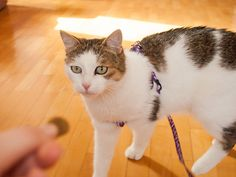 How to Leash Train a Cat: 7 steps (with pictures)