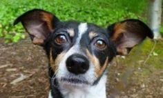 Minnie is an adoptable Rat Terrier Dog in Bellevue, WA. Sweet little Minnie could be a Mouseketeer with her adorable ears! This lovely little girl is a Rat Terrier/Chihuahua mix. Her beauti. Rat Terrier Dogs, Chihuahua Mix, Losing A Pet, Humane Society, Rats, Little Girls, Adoption, Seattle, Drawings