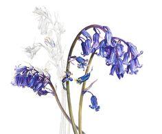 Bluebells plant illustration by Rosie Sanders