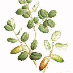 Quercus ilex (Aciñeira)