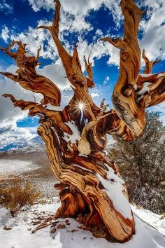 Ancient Bristlecone Pine Tree in the snow.- Inyo County, California