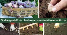Probabil tuturor le place usturoiul. El este folosit practic în toate bucatele. De aceea, doresc să am o recoltă bogată și calitativă. Mă voi lăuda puțin și vă voi spune că în fiecare an am o recoltă bogată de usturoi. Acest lucru, însă, necesită efort și muncă. O idee genială de plantare a usturoiului toamna târziu Garanția unei recolte bune începe de la plantarea acestuia. Eu prefer să plantez usturoiul toamna târziu. Pentru început trebuie să stabilim la ce adâncime trebuie să plantăm…