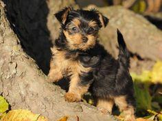 Ein Yorkshire Terrier auf Entdeckungsreise - Foto: Shutterstock / AnetaPics    www.einfachtierisch.de
