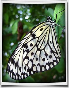 select plants to attract butterflies (paper kite butterfly)
