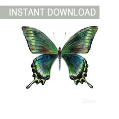 Watercolor butterfly Papilio maackii. JPG downable and printable. Aquarelle realistic hand painting high resolution digital file for wall decor