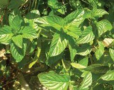 Descubra os poderes cosméticos, curativos e repelentes destas plantas, muito usadas em chás e na confecção de pratos