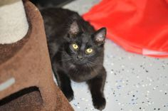 URGENT ​ Meet sweet Willis who was approx 5 1/2 months old in March 2016. Willlis did have a home but he is still very shy and stayed in hiding. Willis is doing fine at the shelter and is out and about with the other cats, playing and exploring but especially LOVES to spend most of his time cuddling with Captain. He is never very far from him so maybe a home that could take him and Captain with no dogs of course would be awesome. Willis has received his vaccinations and is now neutered