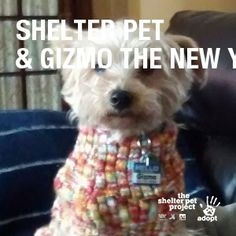 Gizmo is a bundle of love and kisses.  He's become an amazing therapy dog, who wakes his Dad, a Vietnam Veteran up at night whenever he has nightmares.  He climbs on him and showers him with kisses, until he gets hugs and kisses back. #StartaStoryAdopt #StartAStoryAdopt