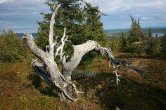 Old wood , Kelo, Pyhävaara, Kuusamo Finland