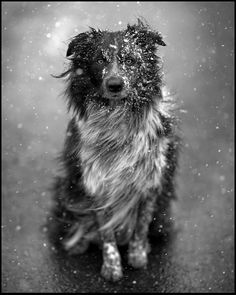 aussie/border collie in the swirling snow.