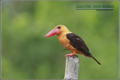 https://flic.kr/p/q4ZBWp | Brown-winged kingfisher