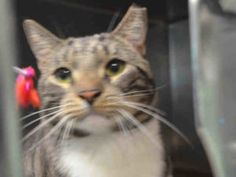 ***TO BE DESTROYED  10/29/16***Brooklyn Center  My name is BROOK. My Animal ID # is A1093485. BROWN TABBY WITH WHITE VEST NEEDS NEW FRIEND! Brook is a three year old fab fella who desperately needs a rescue angel to come to his aid tonight. Brook was surrendered according to ACC notes, for scratching his former owner on a couple of occasions without provocation.