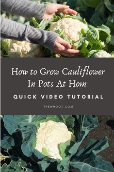 How To Grow Cauliflower In Pots At Home Video Instructions, Diy Abschnitt, Growing Vegetables In Pots, Container Gardening Vegetables, Planting Vegetables, Growing Cauliflower, Organic Gardening, Gardening Tips, Fruit Bearing Trees, Vegetable Garden Tips, Gourmet