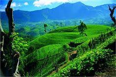 14 - (Año 350)  La primera referencia publicada sobre métodos de sembrar, elaborar y beber el té en la China.