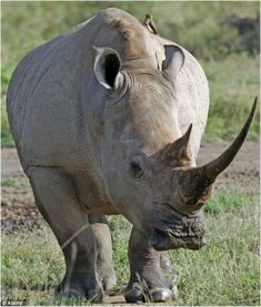 White Rhino Facts Information, Pictures and Videos African Animals - WILDLIFEPLANET.NET