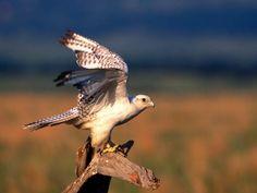Fonds d'écran et Wallpapers gratuits - Aigles: http://wallpapic.fr/animaux/aigles/wallpaper-32633