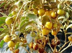 Australian Bush Tucker – Native Fruits    kutjera tomato