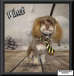 Professional Dog Grooming for little dogs Maltese Poodle, Maltipoo, Small Breed, Dog Grooming, Own Home, Your Dog, Dogs, Animals, Maltipoo Dog