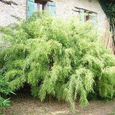 fargesia robusta campbell_Bambù non invasivo, in terra o in vaso