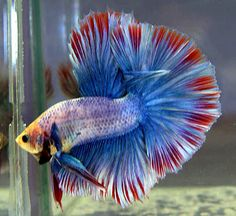 Here are the most beautiful betta fish in the world. And betta fish known as the Siamese fighting fish and 'The Jewel of the Orient', they are rather. Betta Aquarium, Betta Fish Types, Betta Fish Care, Colorful Fish, Tropical Fish, Beautiful Fish, Animals Beautiful, Poisson Combatant, Fish Information