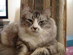 Many cat lovers want to know the breed of their cat. If you don't know already, your cat is likely not of a specific breed, but a domestic cat.
