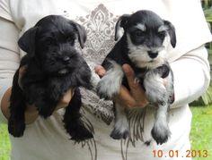 Schnauzer puppies São Paulo