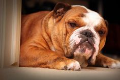 The genetic diversity of the English Bulldog is now so limited it could be difficult to improve the health problems associated with the breed.