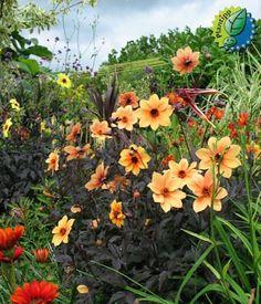 plant, dahlias, outdoor pleasur, outdoor thing, garden iii, mystic seri, flower, mystic spirit