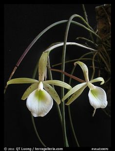 Brassavola flagellaris. A species orchid (color)
