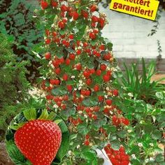 Kletter-Erdbeere 'Hummi®',3 Pflanzen
