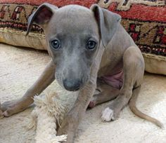 Boo the Whippet Pictures puppy