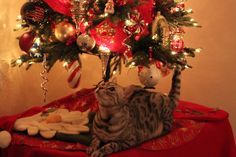 Jazzy getting close to 2 years old! 2015 Bengal Cats, Christmas Tree, Holiday Decor, Home Decor, Teal Christmas Tree, Decoration Home, Room Decor, Xmas Trees, Christmas Trees
