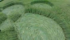 Crop Circle at Groziethen, nr Berlin, Germany. Reported 22nd June 2015
