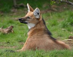 Houston zoo - a nice collection of some of my favorites including the maned wolf and African wild dogs.