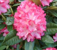 Rhododendron 'Eruption'