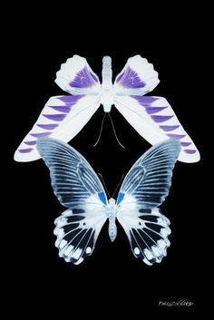size: Photographic Print: Miss Butterfly Duo Brookagenor II - X-Ray Black Edition by Philippe Hugonnard : Artists Butterfly Art, Butterflies, Cool Artwork, Framed Artwork, Nature Posters, Photoshoot Makeup, Black Edition, Print Artist, New Artists