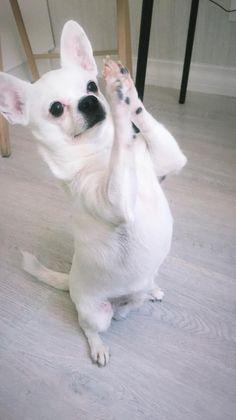 Nothing special, just praying chihua 🙏 White Chihuahua, Chihuahua Love, Chihuahua Puppies, Chihuahuas, Yorkie, Dog Praying, Rat Terriers, Amazing Dogs, Dalmatians