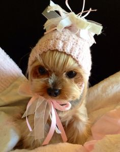 Pin by Carol Copeland on Awww.too cute animals Yorkies, Yorkie Puppy, Teacup Puppies, Cute Dogs And Puppies, Cute Funny Animals, Cute Baby Animals, Yorshire Terrier, Yorkshire Terrier Puppies, Gif Animé