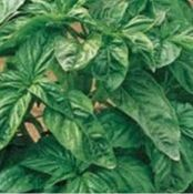 Heirloom Basil Sampler from TomatoBob.com - 10 Varieties (25 seeds each) Includes Dark Opal Basil, Genovese Basil, Purple Basil, Siam Queen Basil, Dwarf Greek Basil, Cinnamon Basil, Spicy Globe Basil, Thai Basil, Lime Basil and Lemon Basil. - From Tomatobob.Com