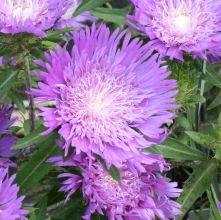 """SUN TO LIGHT SHADE Honeysong Purple Stokes' Aster for sale buy Stokesia laevis 'Honeysong Purple' Zone: 5a to 9b, Height: 12"""" tall Culture: Sun to Part Sun"""