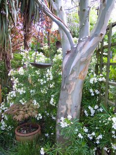 Lovely bark on my Eucalyptus tree Eucalyptus Tree, Trees, Gardening, Nice, Places, Flowers, Lawn And Garden, Florals, Home Decor Trees