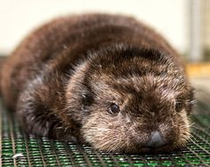 This otter was named after Betty White at Aquarium of the Pacific! otterly-adorable