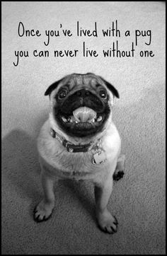 True I love pugs! True I love pugs! Pug Puppies For Sale, Black Pug Puppies, Bulldog Puppies, Cute Pug Puppies, Lab Puppies, Fu Dog, Dog Cat, Pug Quotes, Pugs And Kisses
