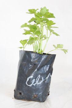 Celery plant