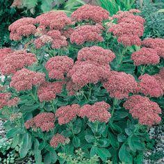 Late Summer, Autumn Summer, Spring, Planting Seeds, Planting Flowers, Sedum Plant, Biennial Plants, Large Plants, Lombok