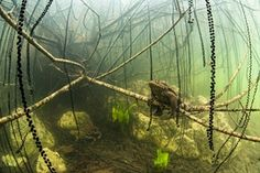 GDT European Wildlife Photographer of the Year 2014  : Underwater category winner: Lord toad by Remi Masson. She took the picture of the toad (Bufo bufo), in a lake in the Alps during its reproduction period