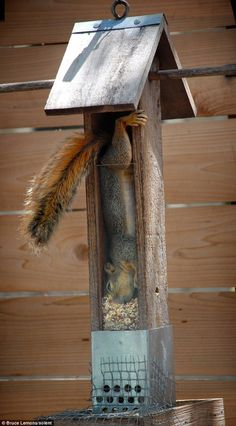 squirrels will do some daring things to get that seed!